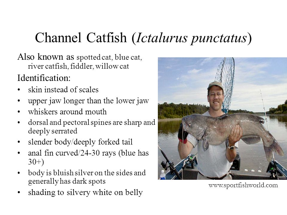 Channel Catfish (Ictalurus punctatus) Also known as spotted cat, blue cat, river catfish, fiddler, willow cat Identification: skin instead of scales u