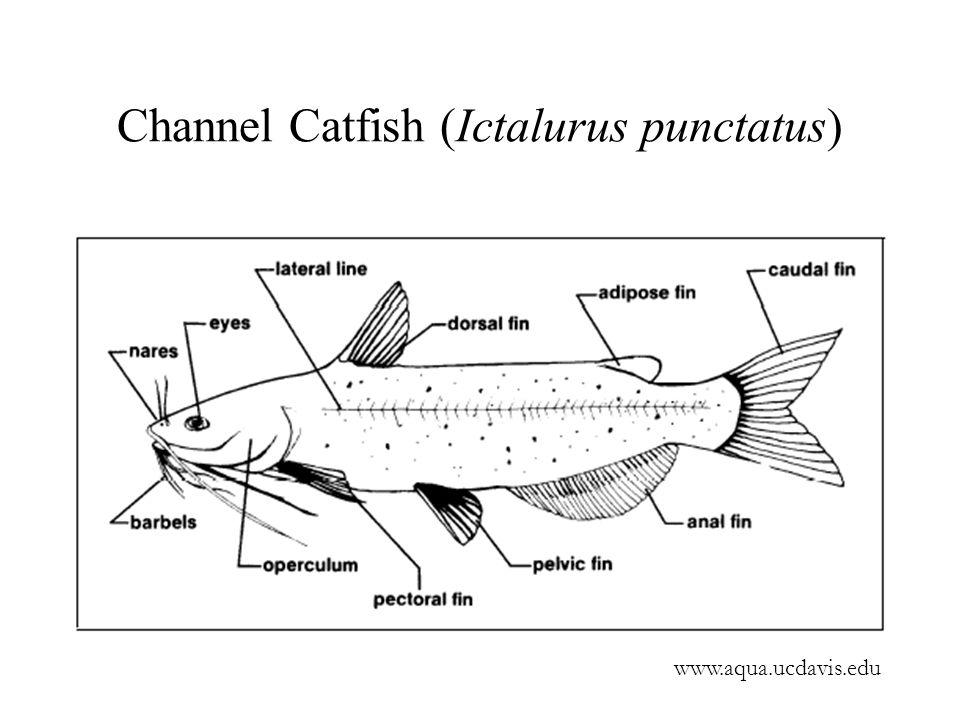 Channel Catfish (Ictalurus punctatus) www.aqua.ucdavis.edu