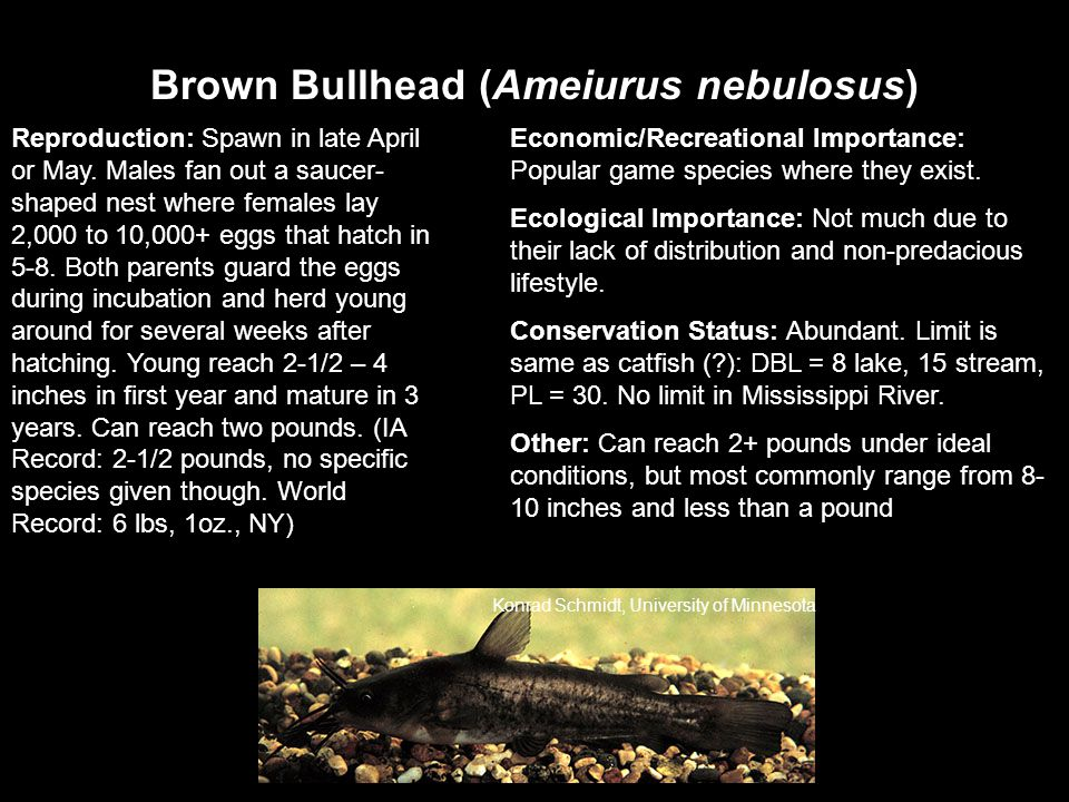 Brown Bullhead (Ameiurus nebulosus) Reproduction: Spawn in late April or May.
