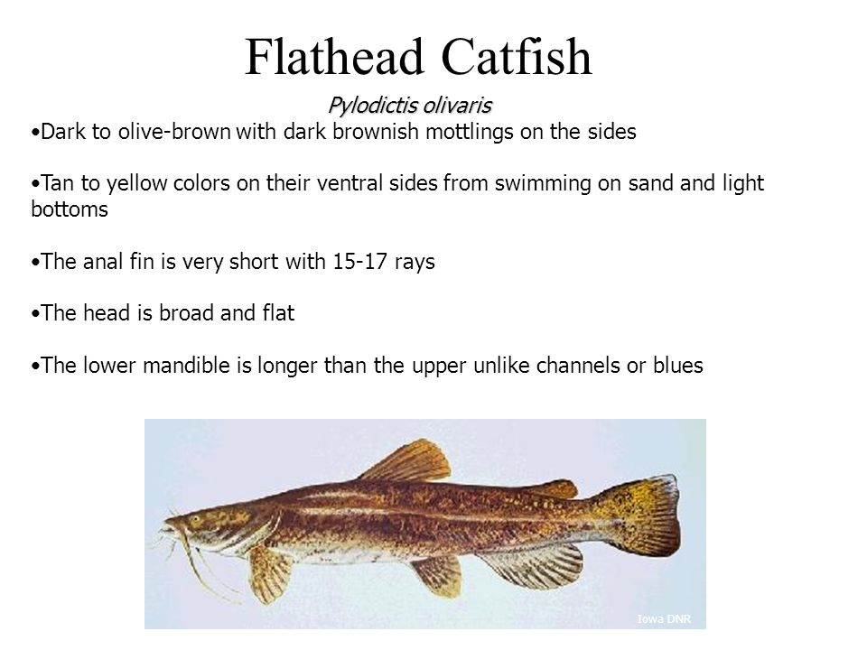 Flathead Catfish Dark to olive-brown with dark brownish mottlings on the sides Tan to yellow colors on their ventral sides from swimming on sand and l