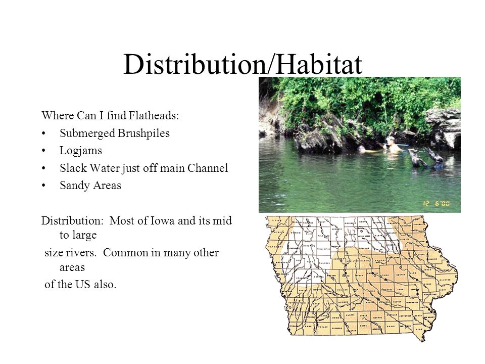 Distribution/Habitat Where Can I find Flatheads: Submerged Brushpiles Logjams Slack Water just off main Channel Sandy Areas Distribution: Most of Iowa