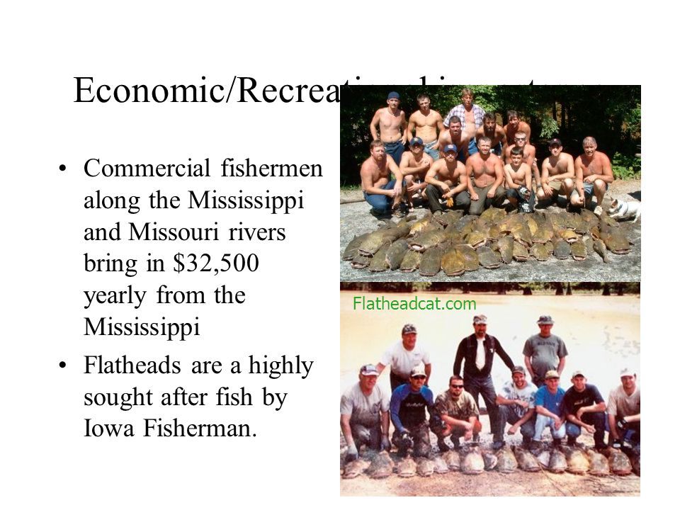 Economic/Recreational importance Commercial fishermen along the Mississippi and Missouri rivers bring in $32,500 yearly from the Mississippi Flatheads are a highly sought after fish by Iowa Fisherman.