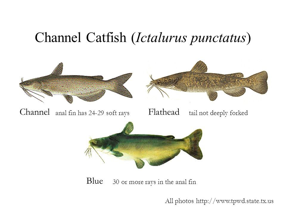 Channel Catfish (Ictalurus punctatus) ChannelFlathead Blue anal fin has 24-29 soft raystail not deeply forked 30 or more rays in the anal fin All phot