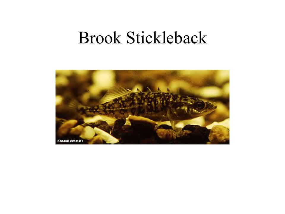 Brook Stickleback