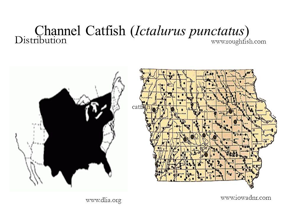 Channel Catfish (Ictalurus punctatus) Distribution www.roughfish.com catfish www.dlia.org www.iowadnr.com