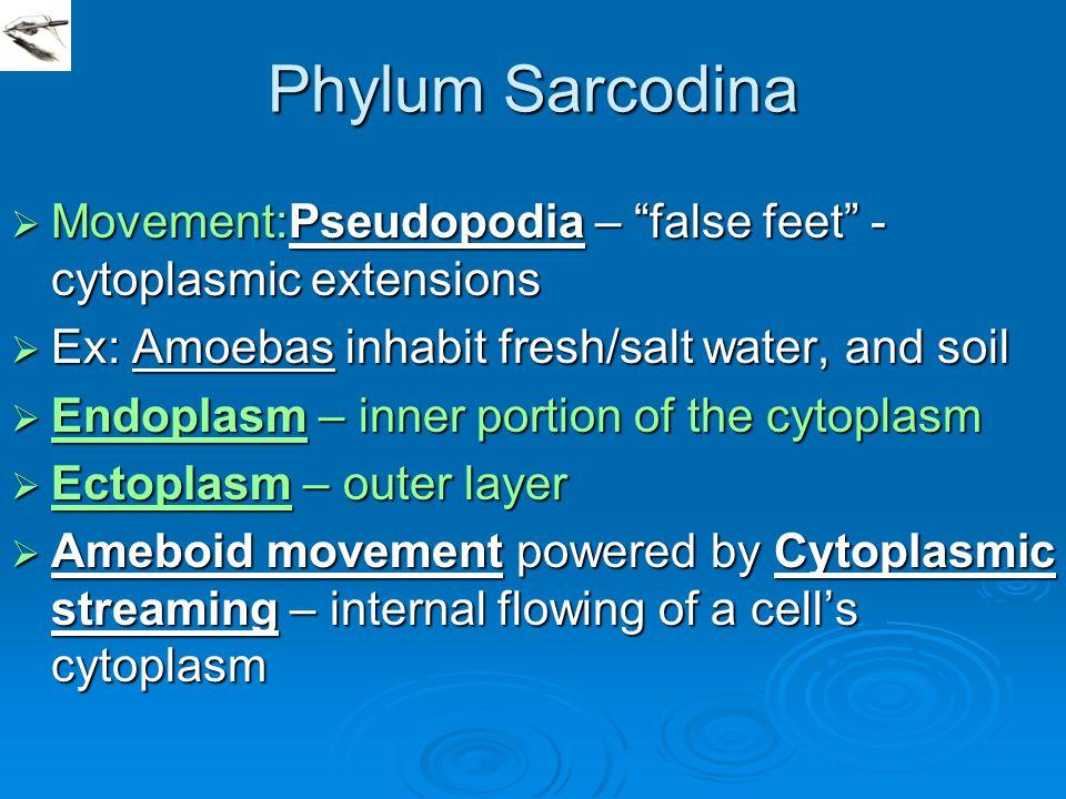 "Phylum Sarcodina  Movement:Pseudopodia – ""false feet"" - cytoplasmic extensions  Ex: Amoebas inhabit fresh/salt water, and soil  Endoplasm – inner p"