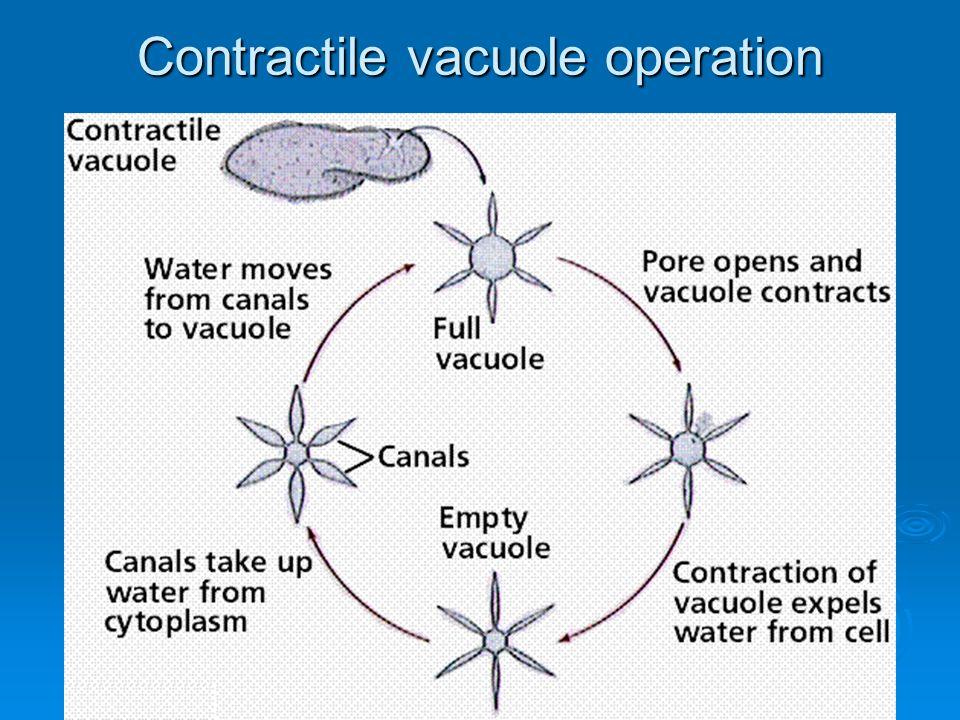 Contractile vacuole operation