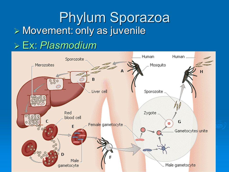 Phylum Sporazoa  Movement: only as juvenile  Ex: Plasmodium