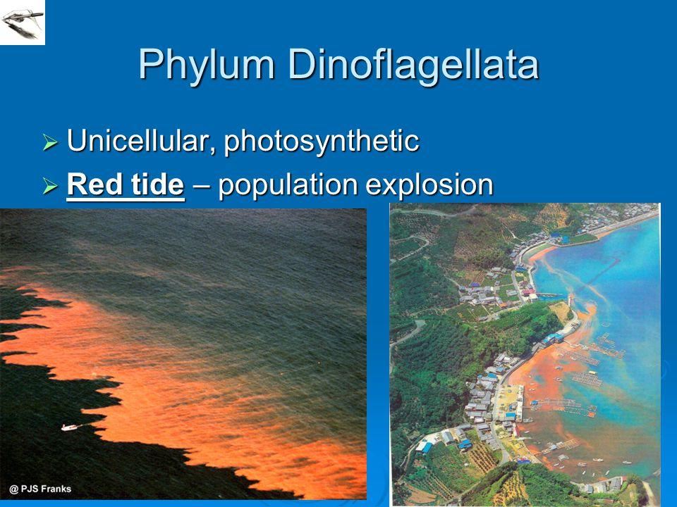 Phylum Dinoflagellata  Unicellular, photosynthetic  Red tide – population explosion