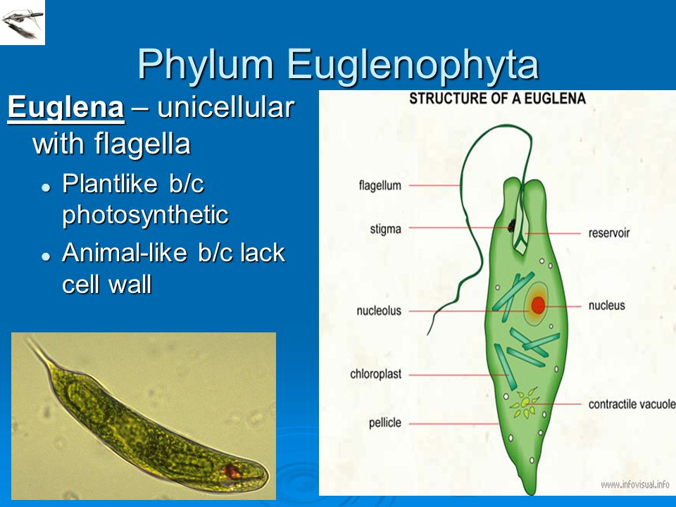 Phylum Euglenophyta Euglena – unicellular with flagella Plantlike b/c photosynthetic Plantlike b/c photosynthetic Animal-like b/c lack cell wall Anima