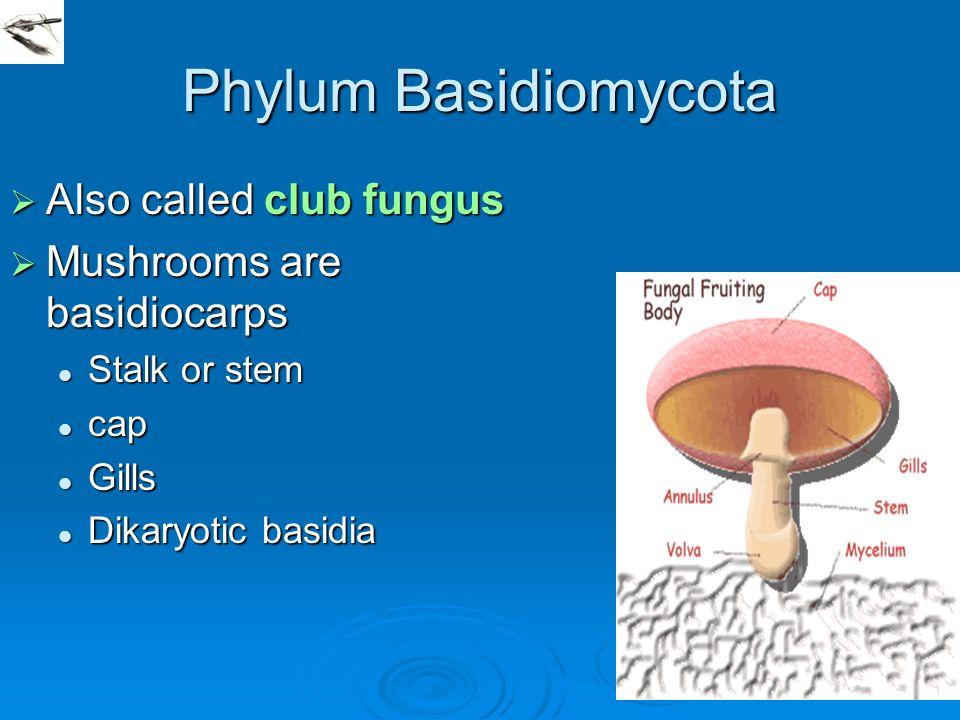 Phylum Basidiomycota  Also called club fungus  Mushrooms are basidiocarps Stalk or stem Stalk or stem cap cap Gills Gills Dikaryotic basidia Dikaryo