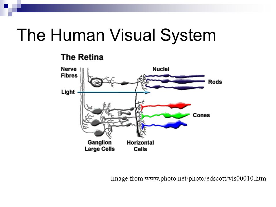 The Human Visual System image from www.photo.net/photo/edscott/vis00010.htm