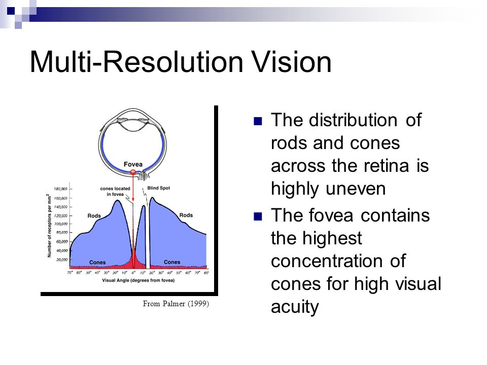 Multi-Resolution Vision From Palmer (1999) The distribution of rods and cones across the retina is highly uneven The fovea contains the highest concen