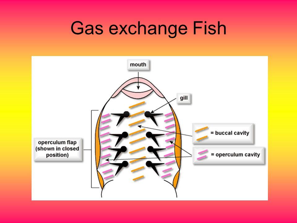 Gas exchange Fish