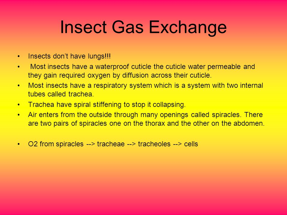 Insect Gas Exchange Insects don't have lungs!!! Most insects have a waterproof cuticle the cuticle water permeable and they gain required oxygen by di