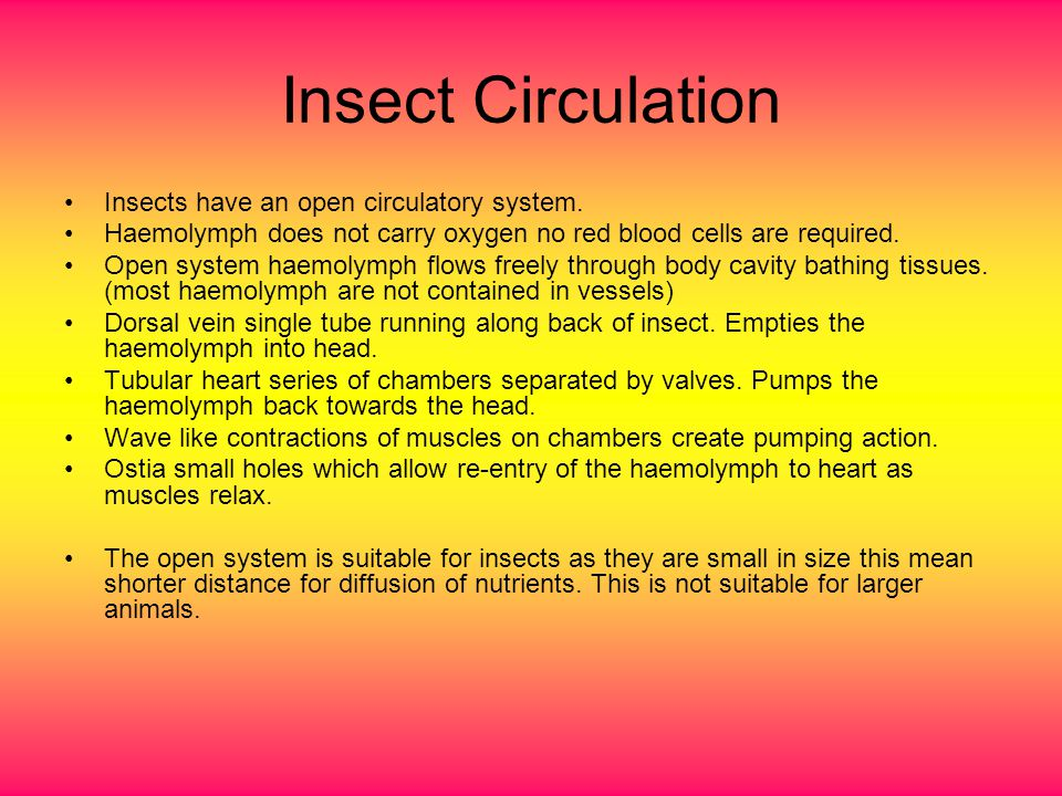 Insect Circulation Insects have an open circulatory system. Haemolymph does not carry oxygen no red blood cells are required. Open system haemolymph f