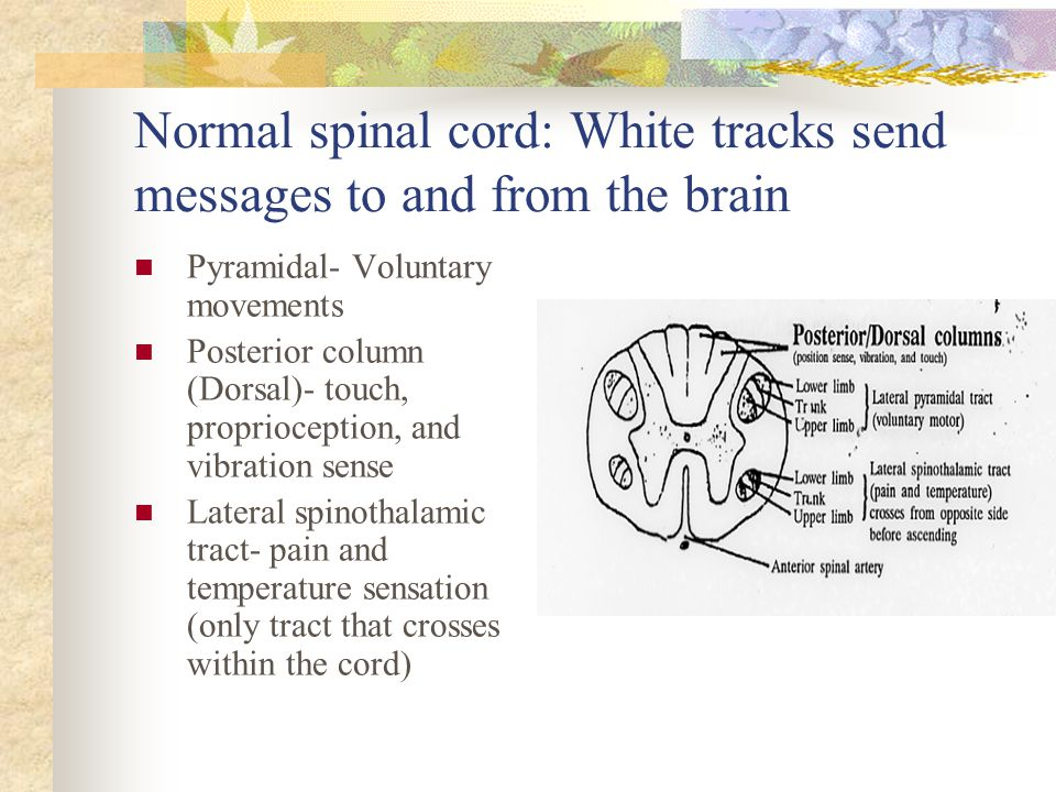 Normal spinal cord: White tracks send messages to and from the brain Pyramidal- Voluntary movements Posterior column (Dorsal)- touch, proprioception,