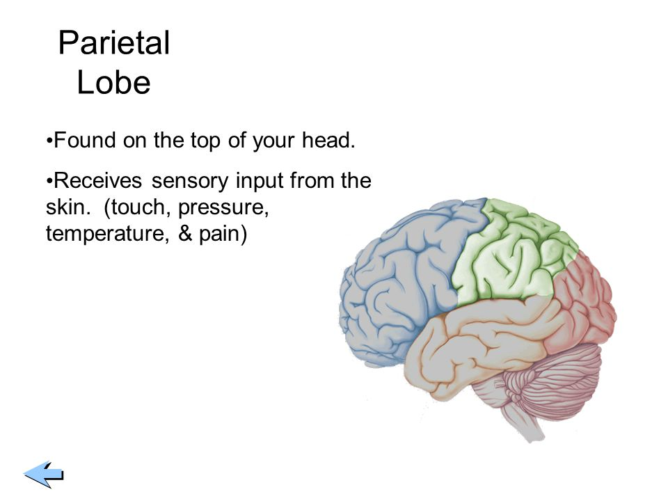 Parietal Lobe Found on the top of your head. Receives sensory input from the skin. (touch, pressure, temperature, & pain)