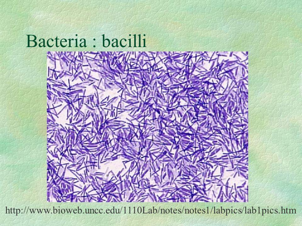 Bacteria : bacilli Streptococcus http://www.bioweb.uncc.edu/1110Lab/notes/notes1/labpics/lab1pics.htm