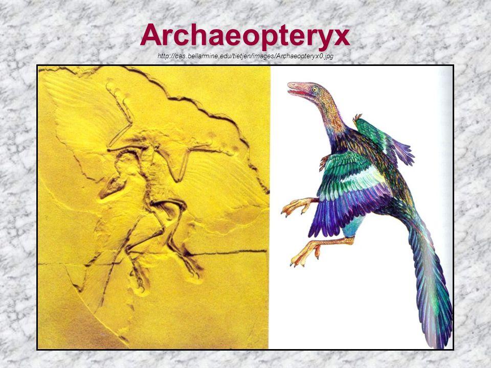 Archaeopteryx Archaeopteryx http://cas.bellarmine.edu/tietjen/images/Archaeopteryx0.jpg