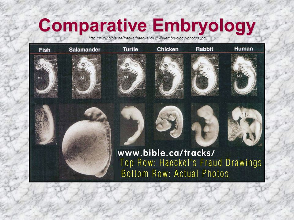Comparative Embryology Comparative Embryology http://www.bible.ca/tracks/haeckel-truth-lie-embryology-photos.jpg