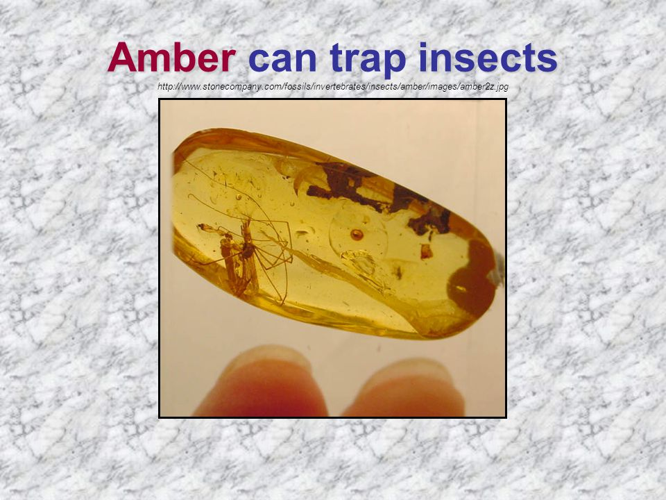 Amber insects Amber can trap insects http://www.stonecompany.com/fossils/invertebrates/insects/amber/images/amber2z.jpg