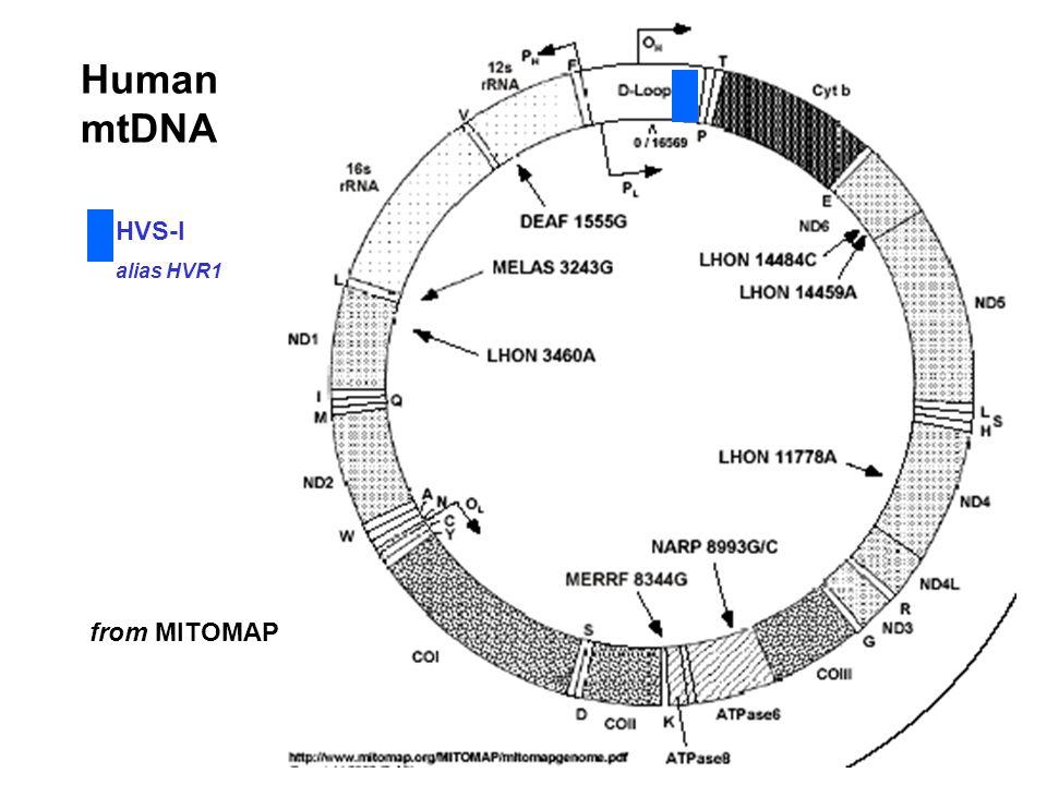 Human mtDNA from MITOMAP HVS-I alias HVR1