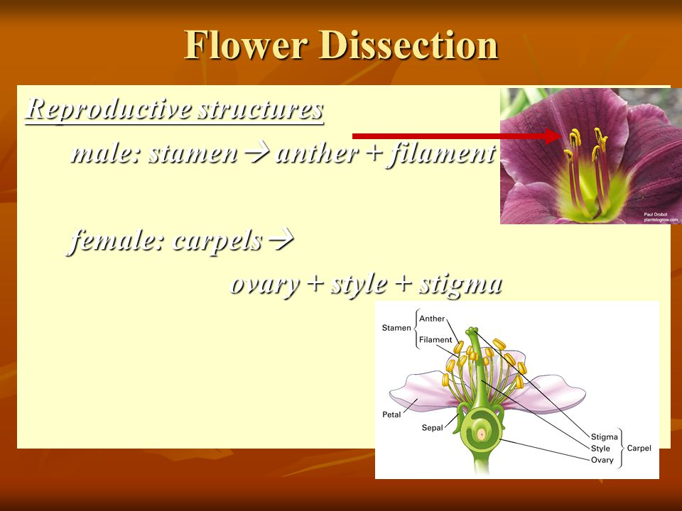 Flower Dissection Reproductive structures male: stamen  anther + filament female: carpels  ovary + style + stigma