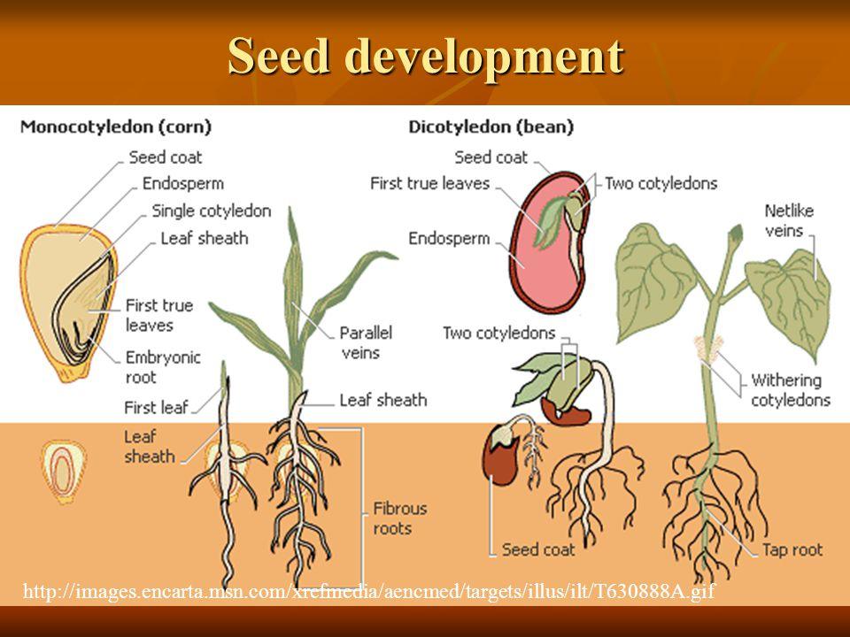 Seed development http://images.encarta.msn.com/xrefmedia/aencmed/targets/illus/ilt/T630888A.gif