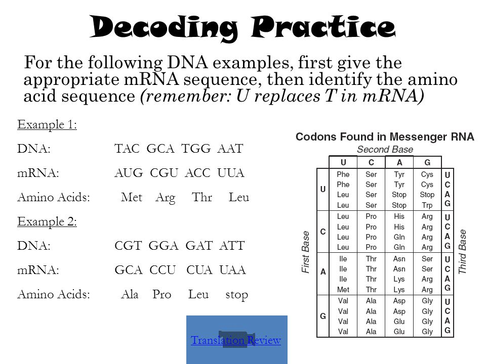Decoding Practice For the following DNA examples, first give the appropriate mRNA sequence, then identify the amino acid sequence (remember: U replace