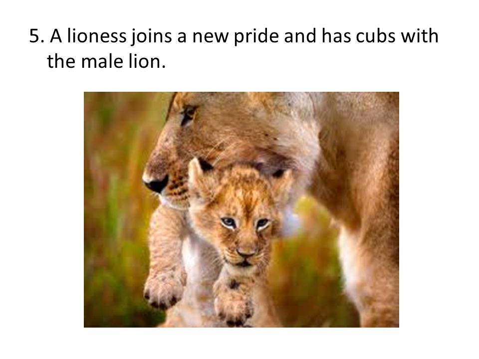 5. A lioness joins a new pride and has cubs with the male lion.