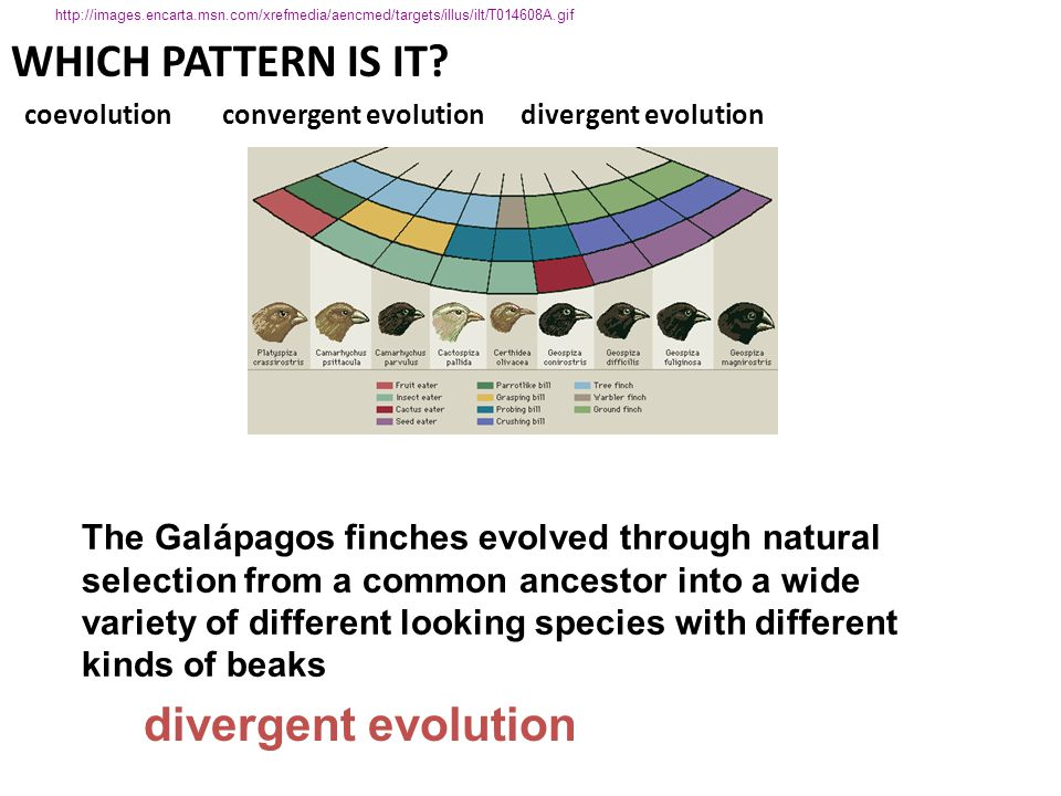 WHICH PATTERN IS IT? coevolution convergent evolution divergent evolution divergent evolution The Galápagos finches evolved through natural selection