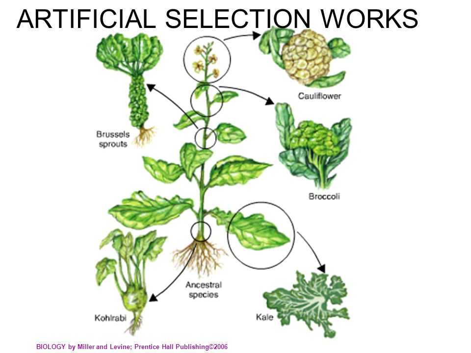 ARTIFICIAL SELECTION WORKS BIOLOGY by Miller and Levine; Prentice Hall Publishing©2006