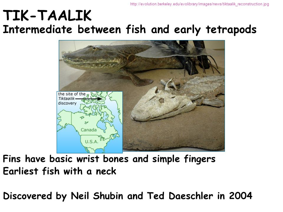 TIK-TAALIK TIK-TAALIK Intermediate between fish and early tetrapods Fins have basic wrist bones and simple fingers Earliest fish with a neck Discovered by Neil Shubin and Ted Daeschler in 2004 http://evolution.berkeley.edu/evolibrary/images/news/tiktaalik_reconstruction.jpg