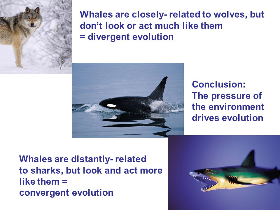 Whales are closely- related to wolves, but don't look or act much like them = divergent evolution Whales are distantly- related to sharks, but look and act more like them = convergent evolution Conclusion: The pressure of the environment drives evolution