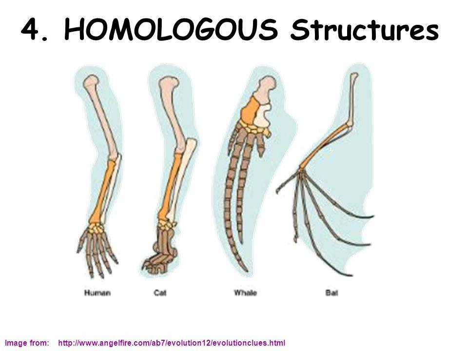 4. HOMOLOGOUS Structures Image from: http://www.angelfire.com/ab7/evolution12/evolutionclues.html