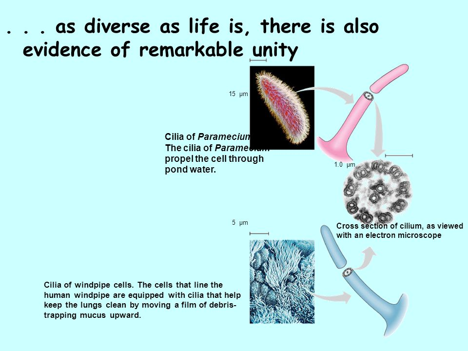 ... as diverse as life is, there is also evidence of remarkable unity Cilia of Paramecium. The cilia of Paramecium propel the cell through pond water.