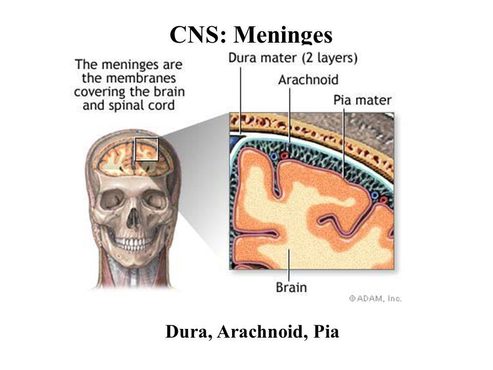 CNS: Meninges Dura, Arachnoid, Pia