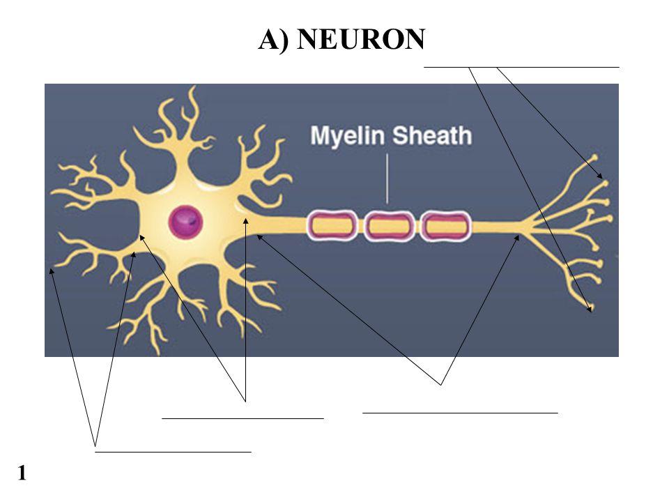 1 A) NEURON