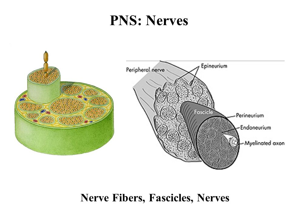 PNS: Nerves Nerve Fibers, Fascicles, Nerves