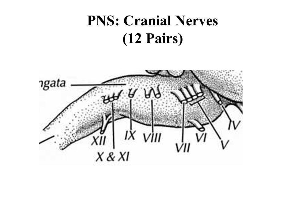 PNS: Cranial Nerves (12 Pairs)