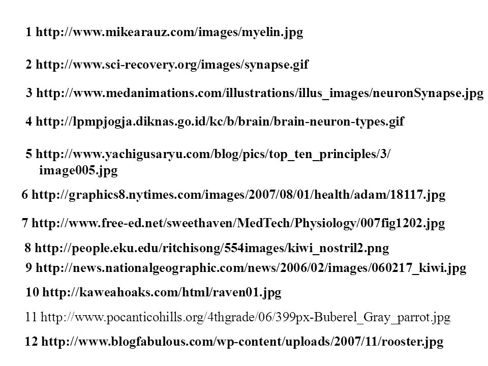 1 http://www.mikearauz.com/images/myelin.jpg 2 http://www.sci-recovery.org/images/synapse.gif 3 http://www.medanimations.com/illustrations/illus_images/neuronSynapse.jpg 4 http://lpmpjogja.diknas.go.id/kc/b/brain/brain-neuron-types.gif 5 http://www.yachigusaryu.com/blog/pics/top_ten_principles/3/ image005.jpg 6 http://graphics8.nytimes.com/images/2007/08/01/health/adam/18117.jpg 7 http://www.free-ed.net/sweethaven/MedTech/Physiology/007fig1202.jpg 8 http://people.eku.edu/ritchisong/554images/kiwi_nostril2.png 9 http://news.nationalgeographic.com/news/2006/02/images/060217_kiwi.jpg 10 http://kaweahoaks.com/html/raven01.jpg 11 http://www.pocanticohills.org/4thgrade/06/399px-Buberel_Gray_parrot.jpg 12 http://www.blogfabulous.com/wp-content/uploads/2007/11/rooster.jpg