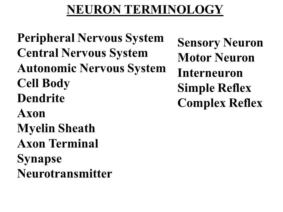 Peripheral Nervous System Central Nervous System Autonomic Nervous System Cell Body Dendrite Axon Myelin Sheath Axon Terminal Synapse Neurotransmitter NEURON TERMINOLOGY Sensory Neuron Motor Neuron Interneuron Simple Reflex Complex Reflex