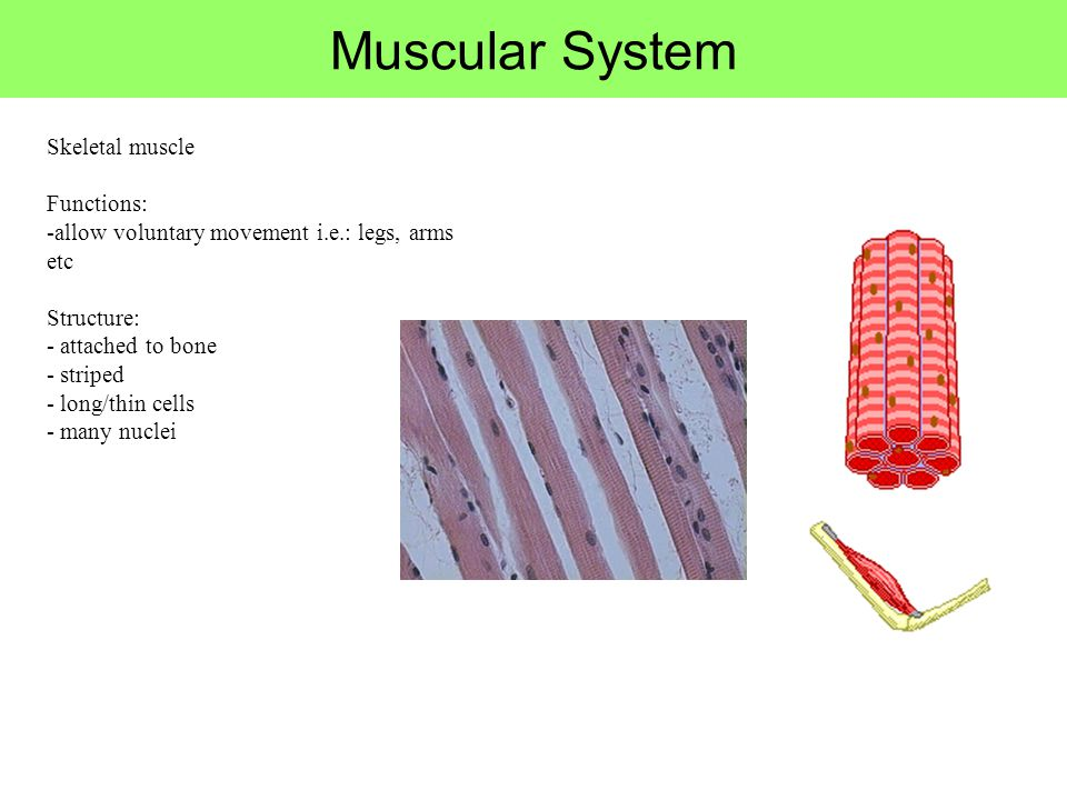Muscular System Skeletal muscle Functions: -allow voluntary movement i.e.: legs, arms etc Structure: - attached to bone - striped - long/thin cells -