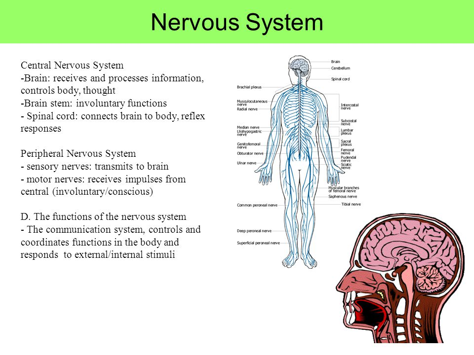 Nervous System Central Nervous System -Brain: receives and processes information, controls body, thought -Brain stem: involuntary functions - Spinal c