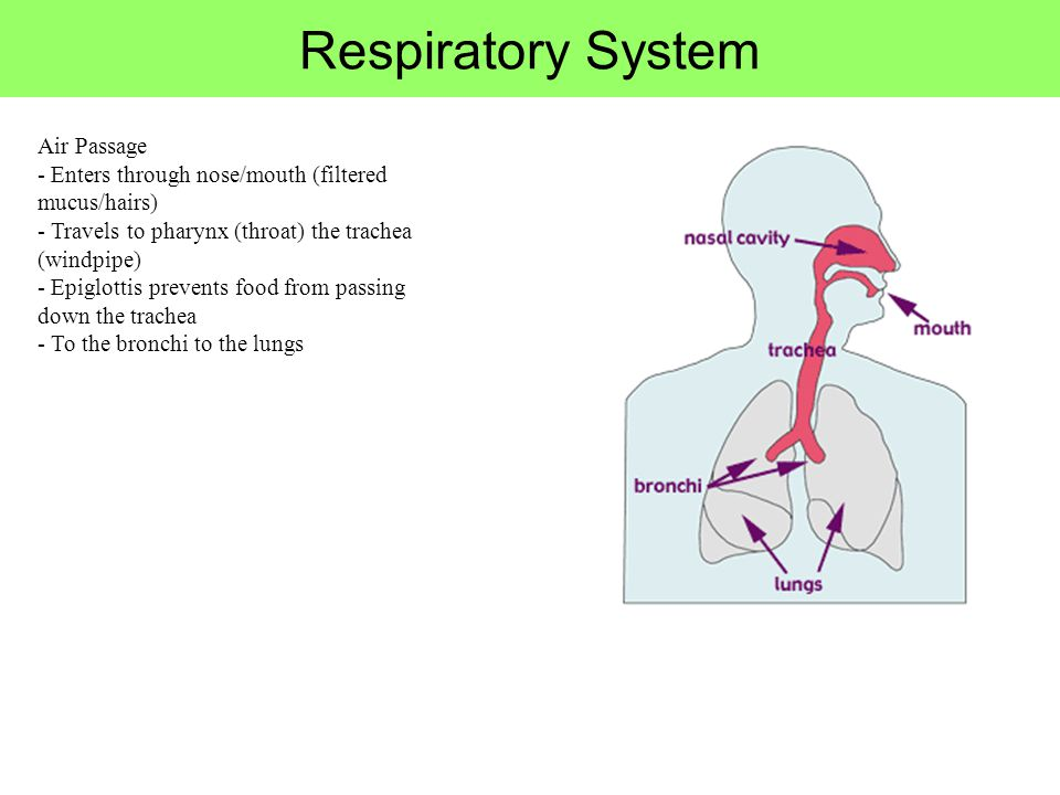 Air Passage - Enters through nose/mouth (filtered mucus/hairs) - Travels to pharynx (throat) the trachea (windpipe) - Epiglottis prevents food from pa