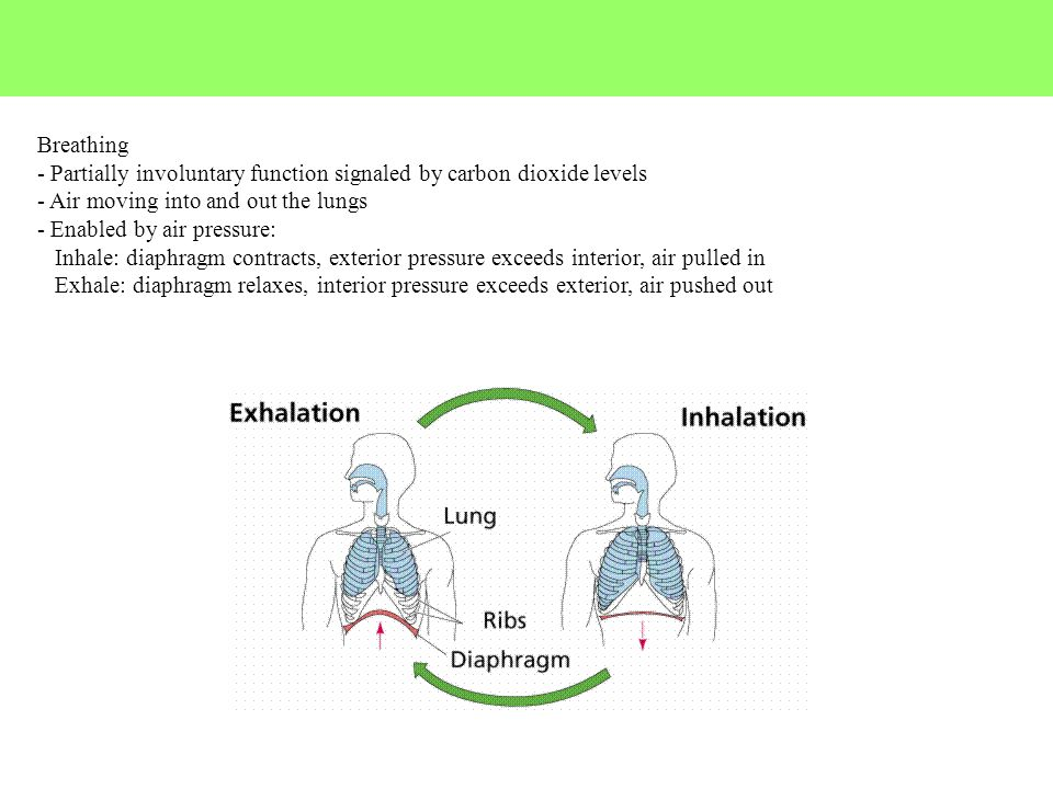 Breathing - Partially involuntary function signaled by carbon dioxide levels - Air moving into and out the lungs - Enabled by air pressure: Inhale: di