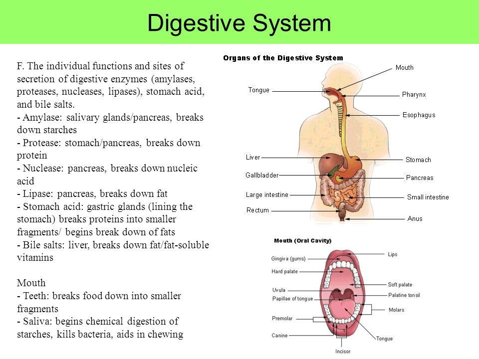 Digestive System F. The individual functions and sites of secretion of digestive enzymes (amylases, proteases, nucleases, lipases), stomach acid, and