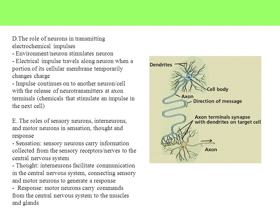 D.The role of neurons in transmitting electrochemical impulses - Environment/neuron stimulates neuron - Electrical impulse travels along neuron when a