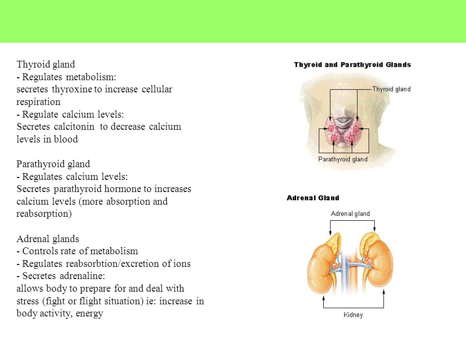 Thyroid gland - Regulates metabolism: secretes thyroxine to increase cellular respiration - Regulate calcium levels: Secretes calcitonin to decrease c